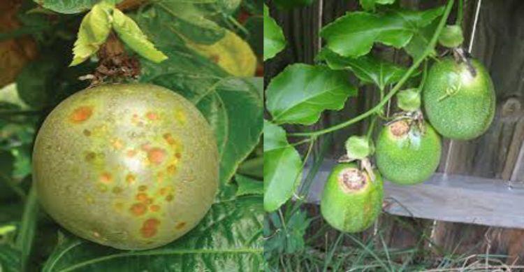 Bệnh đốm xám do nấm Septoria passiflorae